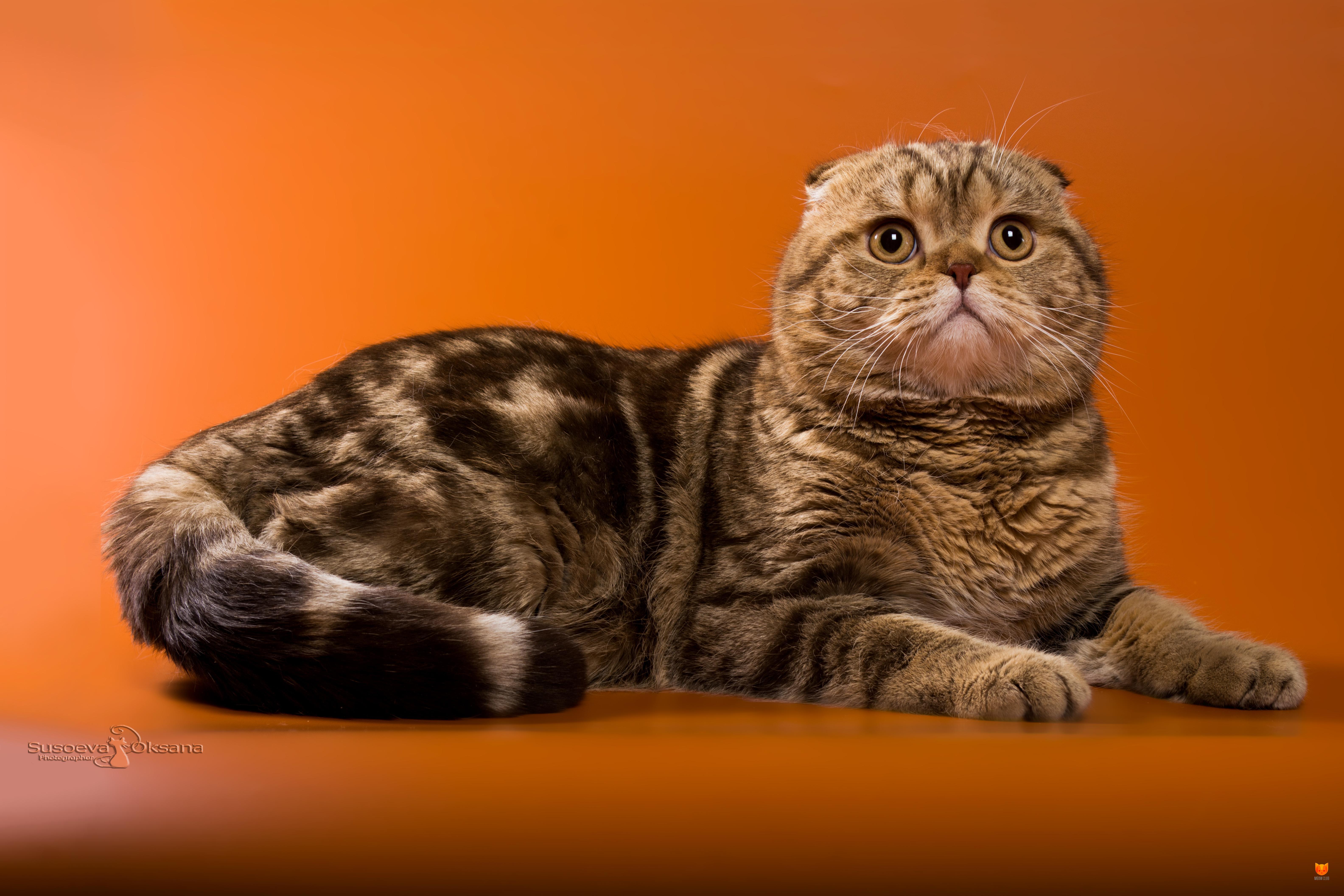 имя и фото шотландской вислоухой кошки расположение карте, цены